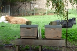 Bienen und Kühe